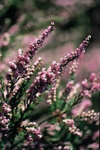 Heather The Bach Centre S Guide To The Bach Flower Remedies